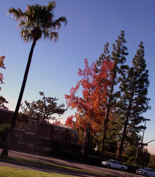 sierra madre blvd trees