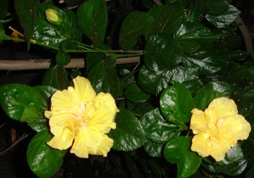 hibiscus four